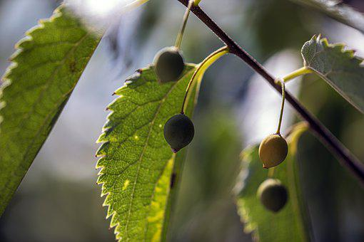Fruit, Leaves, Plant, Tree, Outdoor, Day, Summer