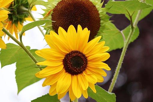 Sunflower, Field, Sunflower Field, Summer, Yellow
