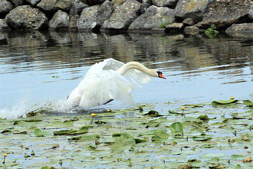 Swan, Lake, Flying, Start, Noble, Feather, White, Water