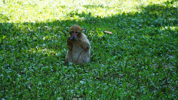 Barbary Ape, äffchen, Small, Young Animal, Cute, Sweet