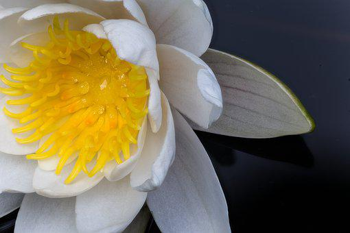 White Water Lily, Rose, Flower, Water, Blossom, Bloom