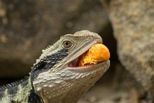 Animal, Reptile, Lizard, Wildlife, Eye, Scale, Water