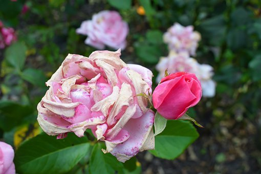 Rose, Withered, Young Bud, Old, New, Combines, Pale