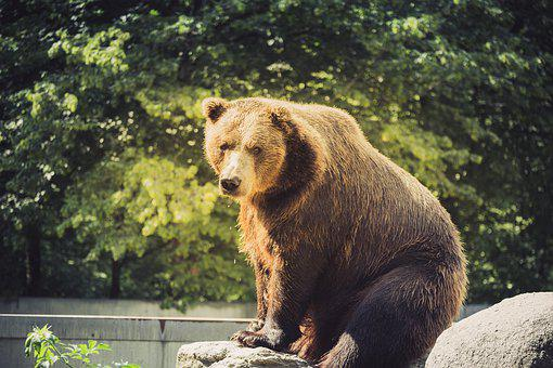 Bear, Animal, Predator, Brown Bear, Wild, Furry, Nature
