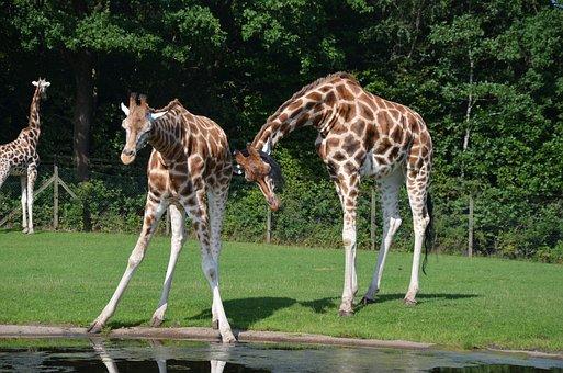 Giraffes, Africa, Safari, Animal World, Nature, Animals