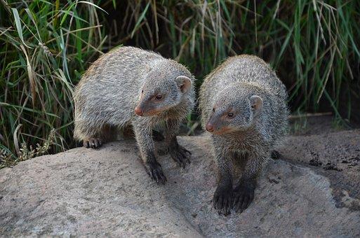 Meerkat, Mammal, Cute, Animal, Animal World, Nature