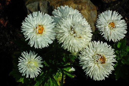 Astra, Flowers, Garden, Summer, White, Nature