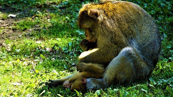 Mother And Child, Ape, Berber Monkeys