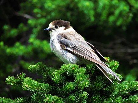 Canada Jay, Gray Jay, Jay, Bird, Canada, Perch