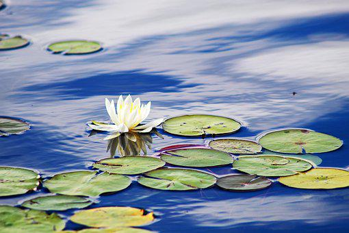 Lilies, Water, Flower, Nature, Bloom, Pond, Blossom