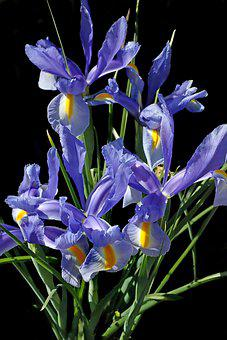 Flowers, Blue, Iris, Dutch, Bulbs, Spring, Garden