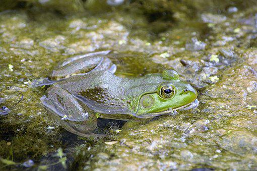 Frog, Bullfrog, Closeup, Ambush, Hunting, Food, Hiding
