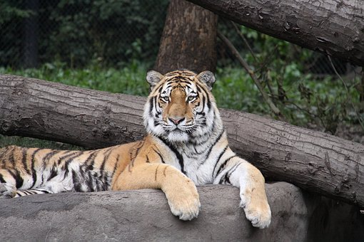 Tiger, Amurtiger, Siberian Tiger, Big Cat, Cat, Zoo