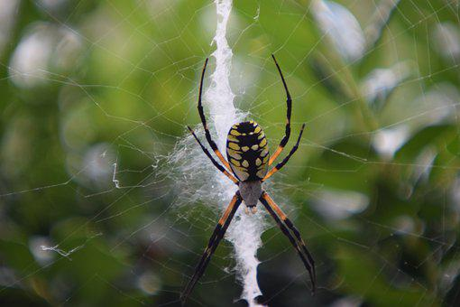 Spider, Garden, Arachnid, Yellow, Black, Fall, Web