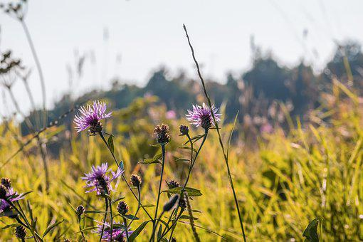 Knapweed, Mountain Crumpled, Flower, Flowering