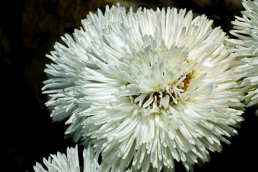 Astra, Flowers, White, Garden, Summer, The Petals