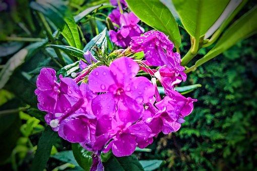 Phlox, Flowers, Shrub, Ornamental Plant, Summer, Garden