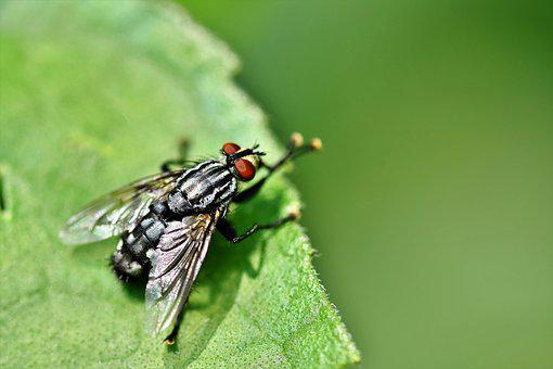 Fly, Insect, Wing, Compound Eyes, Animal, Close Up
