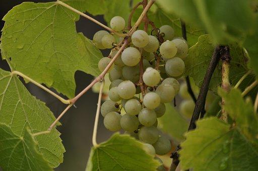 Grapes, Green, Fruit, Food, Vine, Fresh, Wine