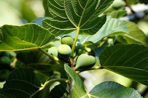 Fig Tree, Fig, Fruit, Figs, Delicious, Fruits, Sweet