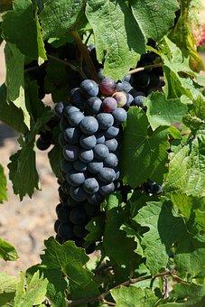 Grape, Vine, Cluster, Branch, Plants, Viticulture