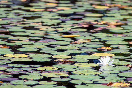 Lilies, Lake, Flowers, Nature, Water