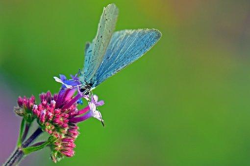 Lazy Tree Blue, Common Blue, Butterflies, Butterfly