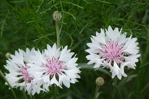 Flowers, Catananche, Garden, White, Lilac, Herbacious
