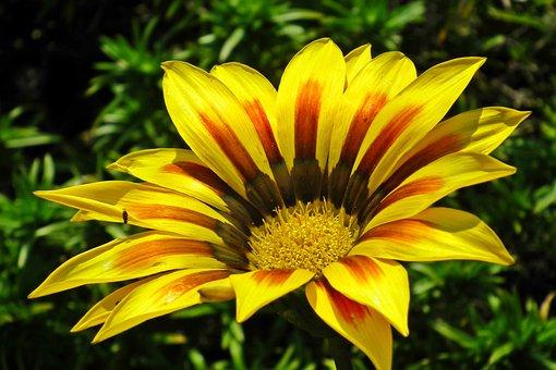 Gazania, Flower, Colored, Nature, Garden, Macro