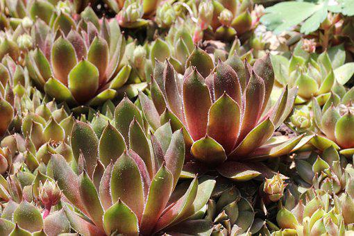 Plants, Succulents, Nature, Green, Red, Botanical