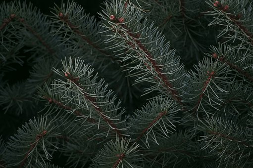 Pine Cone, Pine Tree, Branch, Nature, Green, Decoration