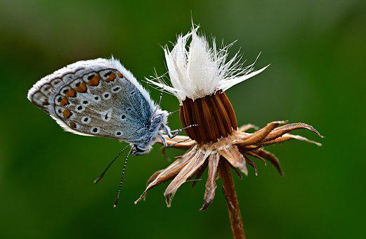 Butterfly, Common Blue, Morning Sun, Meadow, Nature