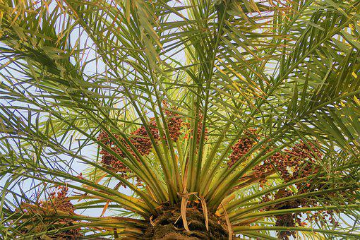 Palm, Tree, Plant, Nature, Fruit, Food, The Leaves Are