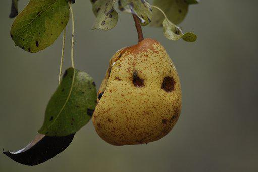 Pear, Tree, Branch, Pear Tree, Growing, Product