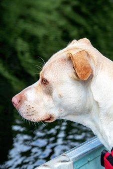 Dog, Pitbull, Animal, Puppy, Pet, Cute, Canine