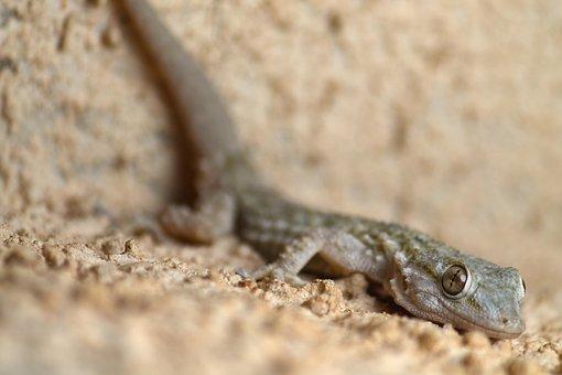 Gekko, Gecko, Animal, Animal World, Lizard, Reptile