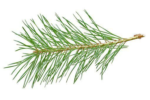 Needles, Scotch Pine, Needle Branch, Conifer, Branch
