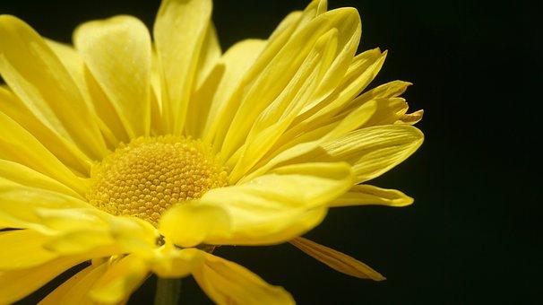 Flower, Sun, Sunflower, Petal, Angiosperm, Summer