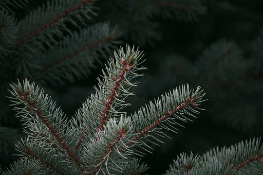 Pine Tree, Pine Cone, Pine, Tree, Christmas, Branch