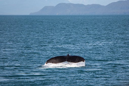 Whale Watching, Whale, Tail, Breaching, Water, Sea