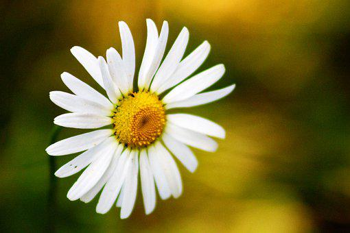 Flower, Daisy, Meadow, Bloom, Nature, Summer, White