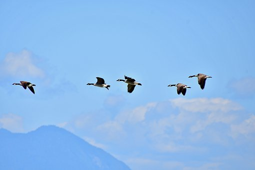 Wild Geese Formation, Wild Geese Flying, Bird Formation
