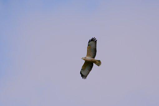 Common Buzzard, Bird Of Prey, Flying, Wings, Bird