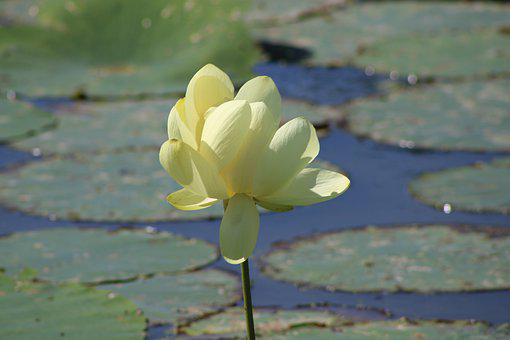 Lily Pad, Yellow Flower, Water