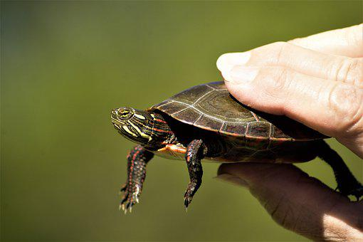 Turtle, Painted Turtle, Young, Handheld, Lake, Caught