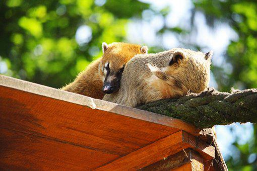 Coati, Zoo Greifswald, Zoo, Animal World, Mammal, Sleep