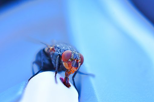 Fly Tongue, Fly Eyes, Hairy Insects, Nature, Animal