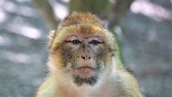 Barbary Ape, Monkey, Animal, Animal Portrait