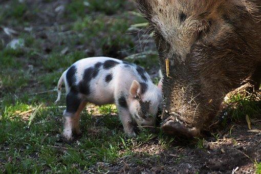 Piglet, Pig, Luck, Farm, Cute, Animal, Sow, Mammal