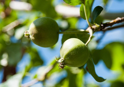 Apple, Small, Green, Apples, Nature, Branch, Tree